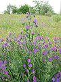 Echium plantagineum2.jpg