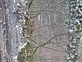 Ecureuil dans un arbre en forêt de Haye.jpg
