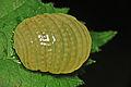 Egg mass of a Caddis Fly (Glyphotaelius pellucidus) - Christchurch Park, Ipswich, East Suffolk - England - 5 Oct. 2014.jpg