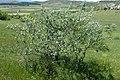 Elaeagnus angustifolia kz02.jpg