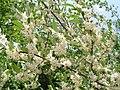 Elaeagnus umbellata Blüte.jpg