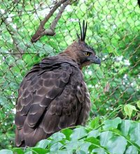 Elang Jawa Nisaetus bartelsi Bandung Zoo 2 cropped