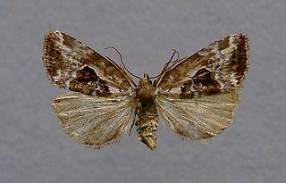 <i>Elaphria</i> Genus of moths