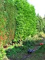 Electric hedge trimmer and partly trimmed hedge.jpg