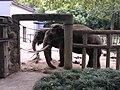 Elephant, Hangzhou zoo.jpg