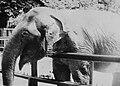 Elephant Kinga Poznan ZOO.JPG
