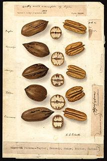 American botanical illustrator