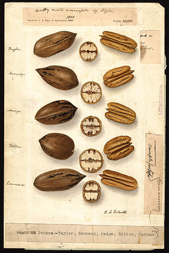 Ellen Isham Schutt - Watercolor of pecans (Carya illinoinensis) by Ellen Isham Schutt ca. 1904–14. Varieties shown include Taylor, Kennedy, Hodge, Bolton, and Carman.