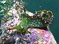 Elysia Grandifolia eating algae (17111551869).jpg
