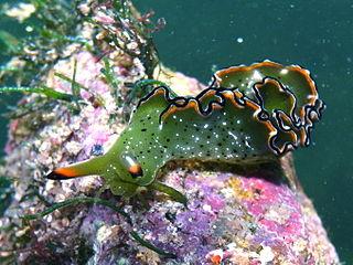 <i>Elysia grandifolia</i> Species of gastropod