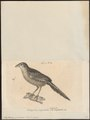 Emberizoides sphenura - 1700-1880 - Print - Iconographia Zoologica - Special Collections University of Amsterdam - UBA01 IZ16000271.tif