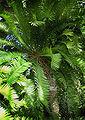 Encephalartos Altensteinii-oldest european cycad 450yrs in Lednice greenhouse.jpg