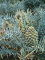 Encephalartos horridus KirstenboshBotGard09292010G.JPG