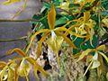 Epidendrum oerstedii 1.jpg