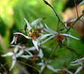 Epimedium pubescens 4.jpg