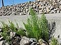 Equisetum arvense subsp. arvense sl25.jpg