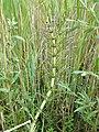 Equisetum telmateia (subsp. telmateia) sl6.jpg