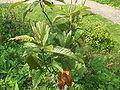 Eriobotrya japonica.jpg