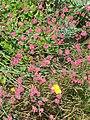 Eriogonum grande rubescens (14717460096).jpg