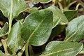 Eriogonum pyrolifolium 7731.JPG