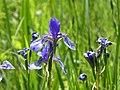 Eriskircher Ried Irisblüte 112.jpg