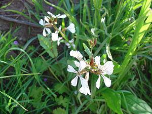 Eruca vesicaria - Image: Eruca vesicaria re