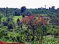 Erythrina abyssinica Tree1.jpg