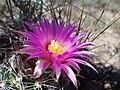 Escobaria vivipara (7462397354).jpg