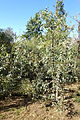 Eucalyptus socialis - Jardín Botánico de Barcelona - Barcelona, Spain - DSC09021.JPG