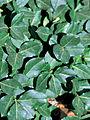 Euonymus fortunei 2307137.jpg