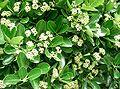 Euonymus japonicus4.jpg