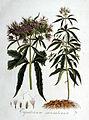 Eupatorium cannabinum — Flora Batava — Volume v1.jpg