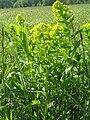 Euphorbia lucida1.JPG