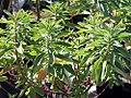 Euphorbia polychroma 0zz.jpg