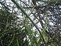 Euphorbia tirucalli (YS) (2).jpg