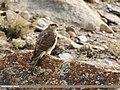 Eurasian Sparrowhawk (Accipiter nisus) (31021799557).jpg