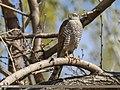 Eurasian Sparrowhawk (Accipiter nisus) (34560501072).jpg
