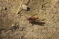 European Hornet - Vespa crabro (44821800514).jpg