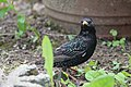 European Starling DK1.jpg
