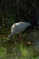 Everglades39(js)-American white ibis.jpg