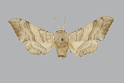 Falcatula tamsi BMNHE270740 male up.jpg
