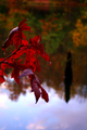 Fall-red-leaf-lake - West Virginia - ForestWander.png