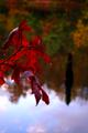Fall-red-leaf-lake - West Virginia - ForestWander.png