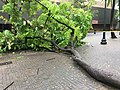 Fallen Tree at Fort Street Mall due to Tropical Storm Olivia (39925629233).jpg