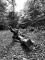 Fallen tree (8105254940).jpg