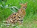 Felidae - Leptailurus serval (Serval) (8300229302).jpg