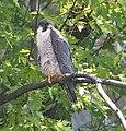 Female Peregrine Falcon, Missisquoi NWR (7345839432).jpg