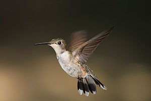 Female Ruby-throated Hummingbird Archilochus c...