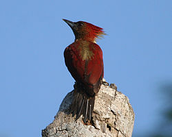 Female banded woodpecker.jpg