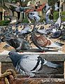 Feral pigeon From The Crossley ID Guide Eastern Birds.jpg